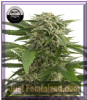 Dinafem Auto Bubba Kush Female 5 Weed Seeds